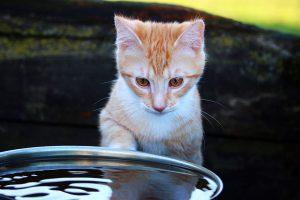 manera para acostumbrar a un gato al agua
