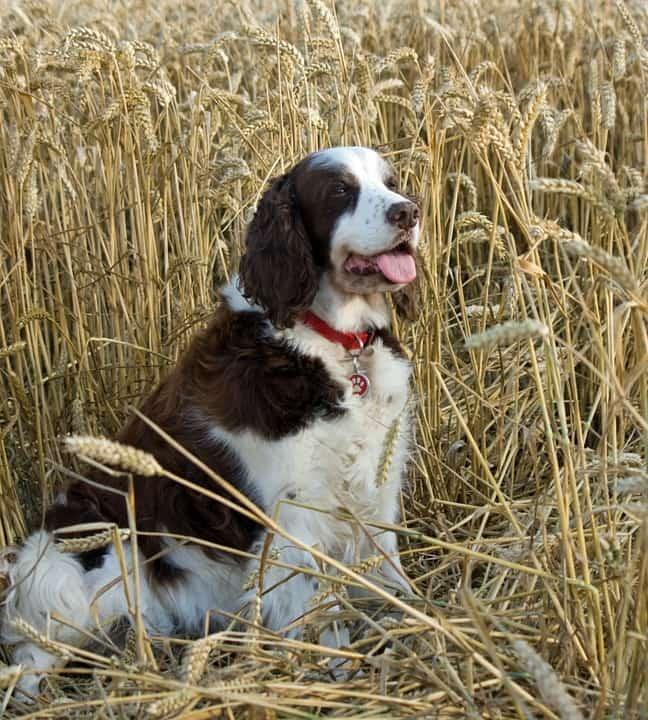 Cómo tratar las espigas en perros