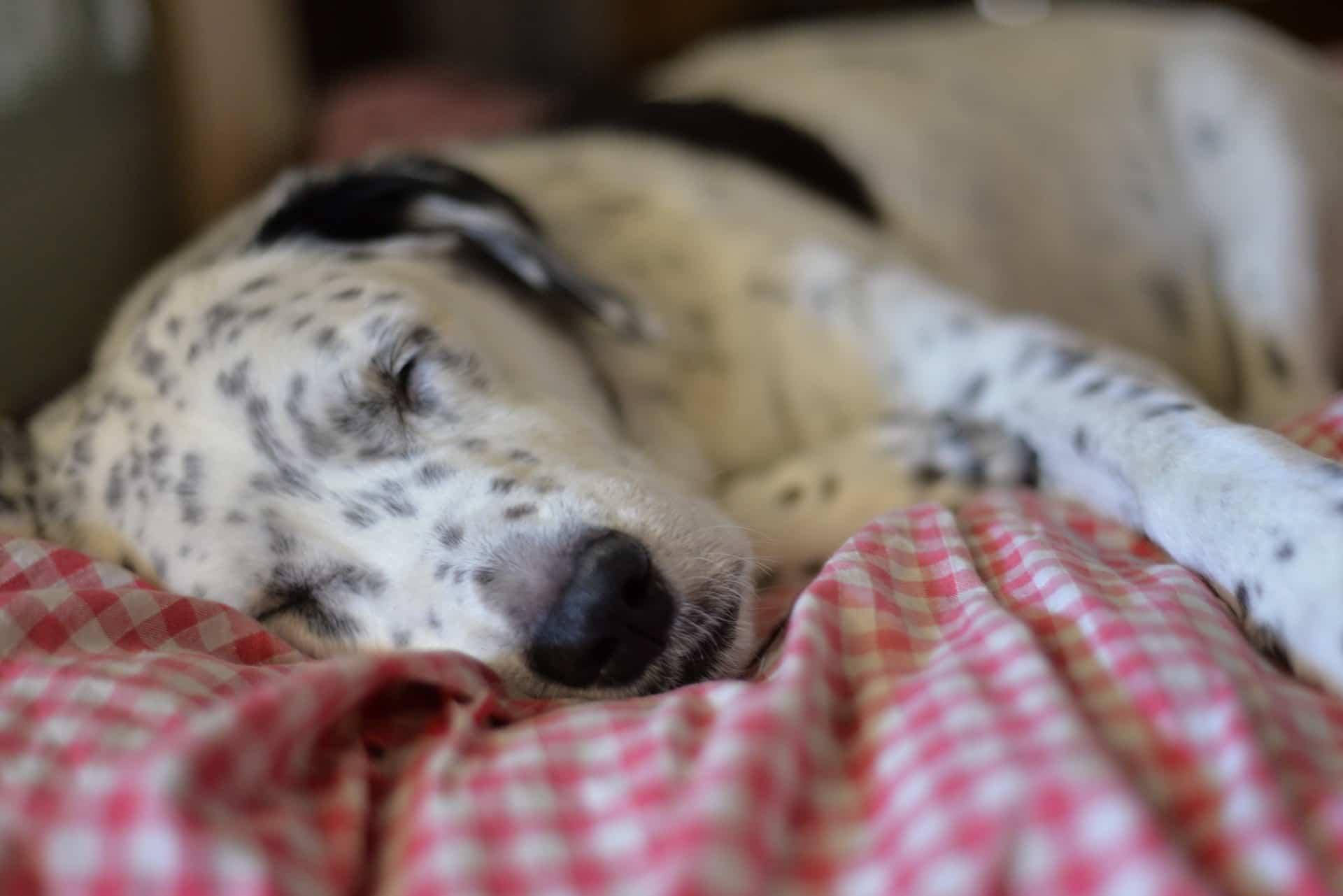 Perro durmiendo - Veterinaria Ciudad de los Ángeles