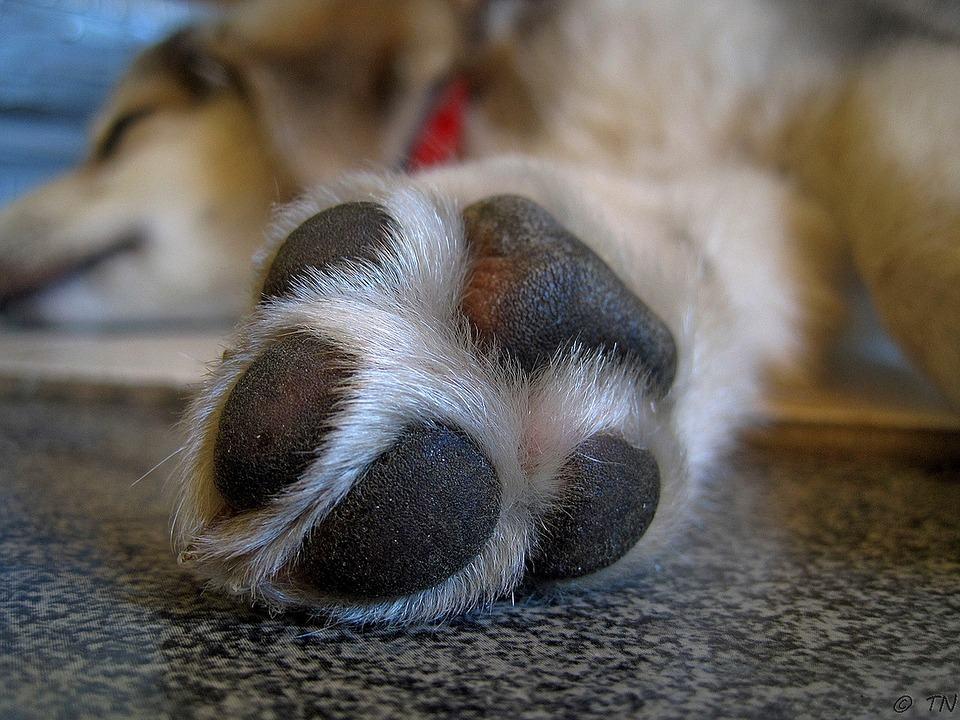 Aprende a proteger las almohadillas de tu perro del calor