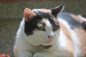 Obesidad en gatos: Cómo detectarla