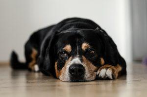Síntomas perro deprimido