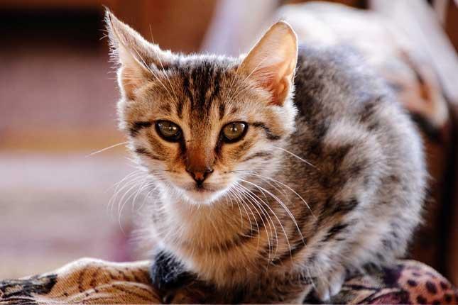 Enseñar a un gato a usar el arenero