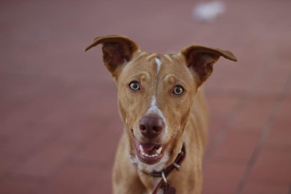 Cuidado de los oídos en perros