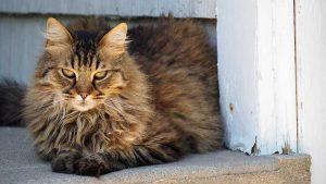 cuidados del pelo de gato