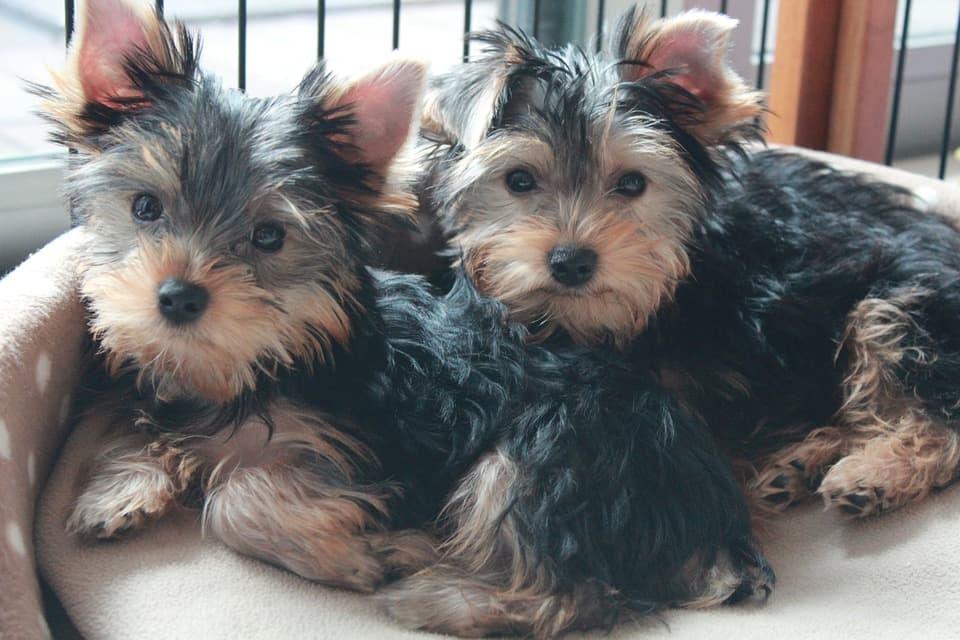 cachorrros yorkshire