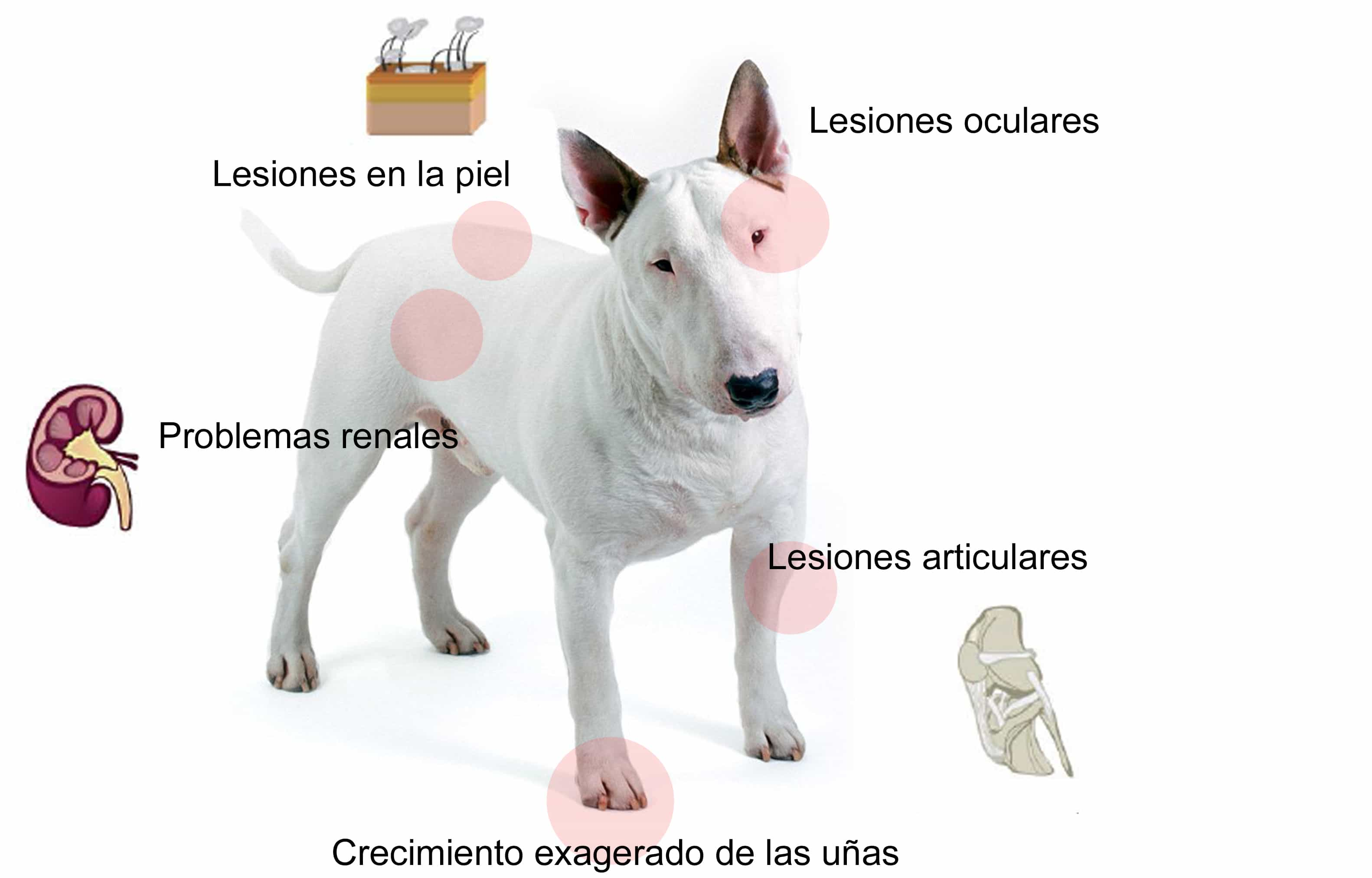 Descubre los síntomas de la leishmania en perros