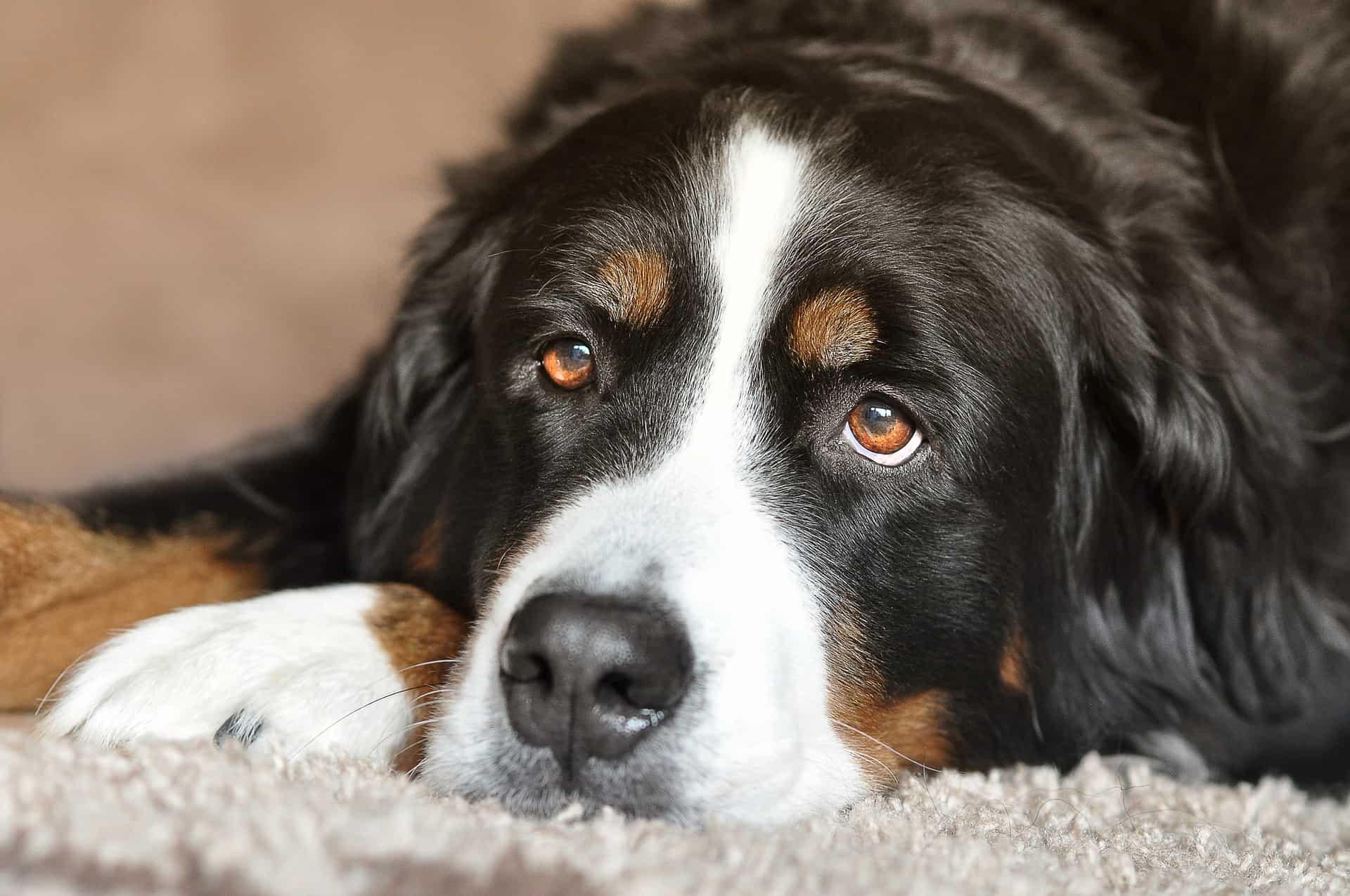 gestación en perros