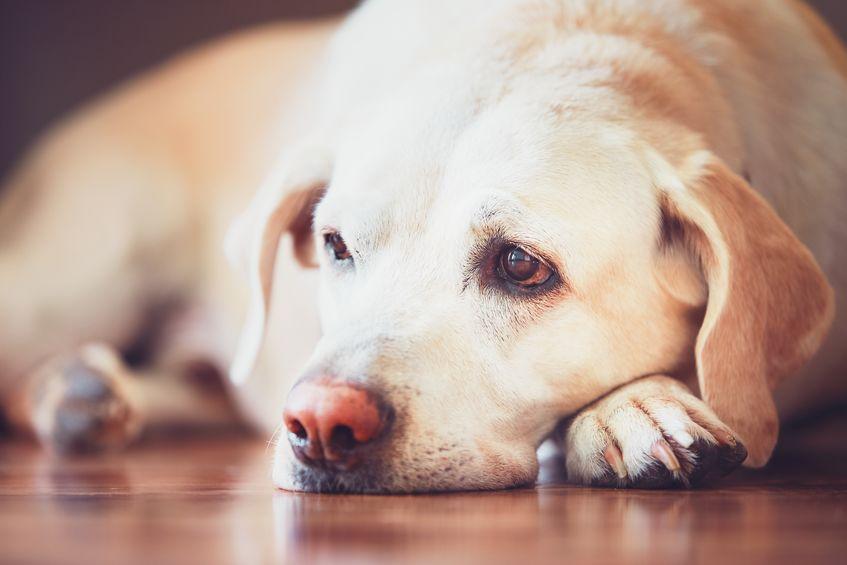 depresión mascotas