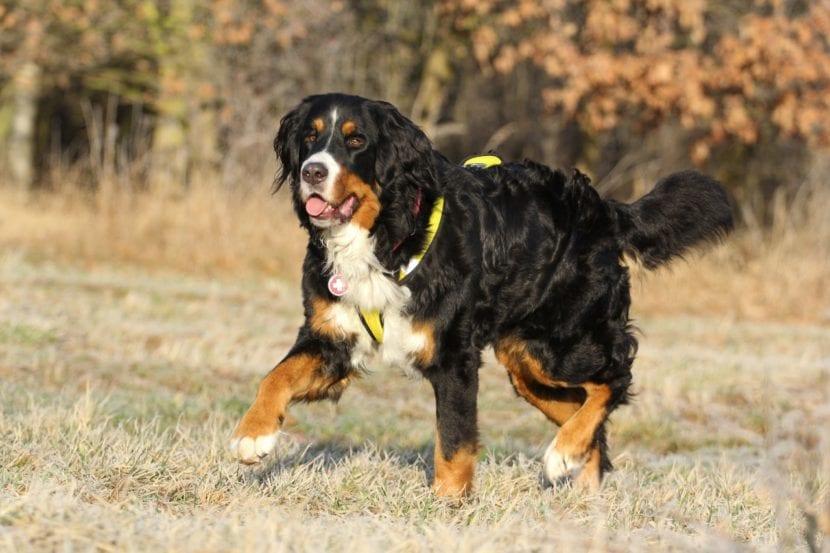 perros razas grandes gran boyero suizo