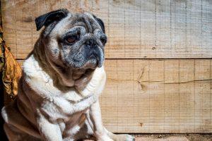 calor perros enfemedades carlino