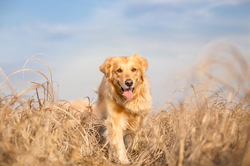 espigas perros heridas