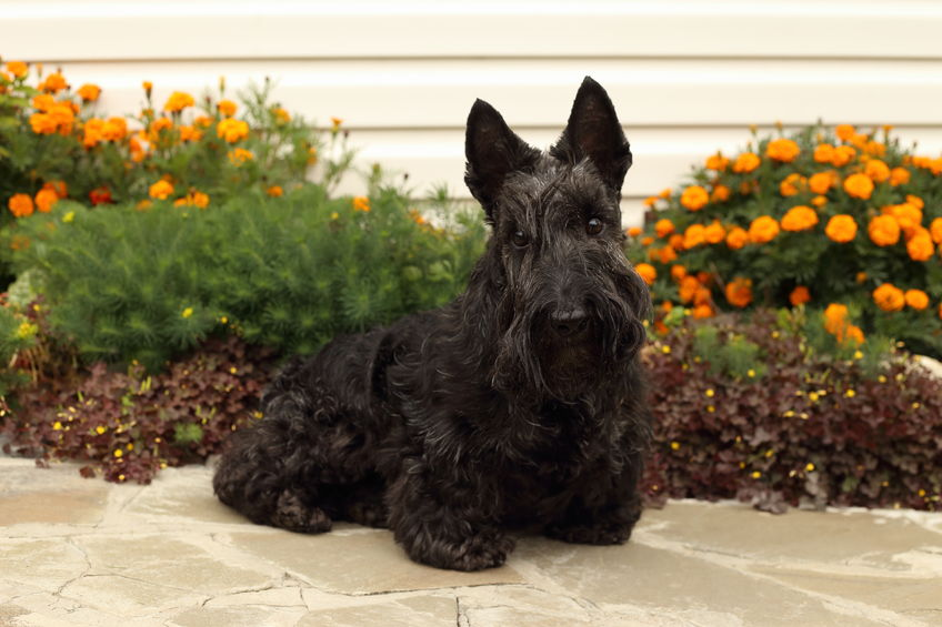 linfoma raza perro frecuente