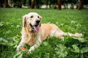 linfoma canino raza perro golden retiever